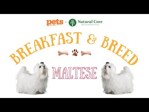 Pets Magazine Breakfast and Breed #6 - Maltese Edition