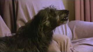 Bree the singing Deerhound