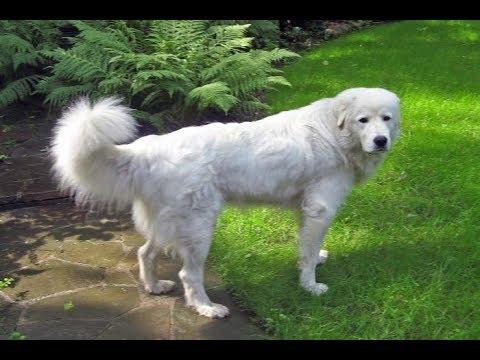 Порода собак Кувас - Описание