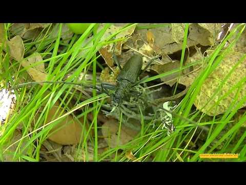 Большой дубовый жук усач. Насекомые Крыма. Large Oak Beetle Barbel. Insects Of The Crimea.
