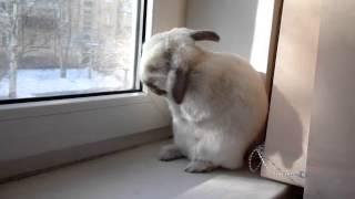 Кролик моет уши