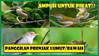 MANTAP!! SUARA RIBUT PANGGILAN PRENJAK LUMUT ATAU PRENJAK KAMPUNG (BAWAH) COCOK UNTUK PIKAT!!