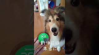 kawaiiシェルティ 大切な宝物 thumbnail