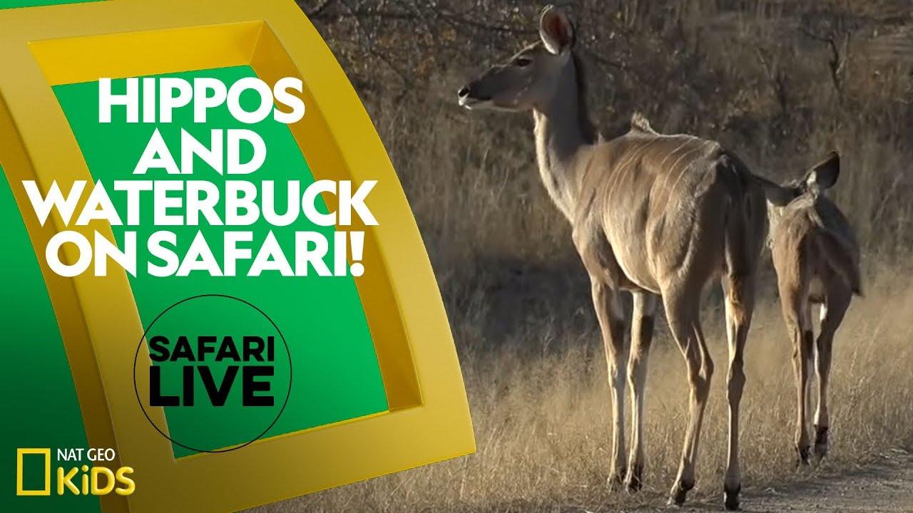 Hippos and Waterbuck on Safari! | Safari Live