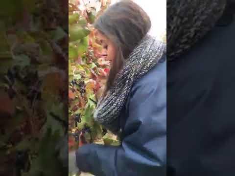 Harvestig In Croatia