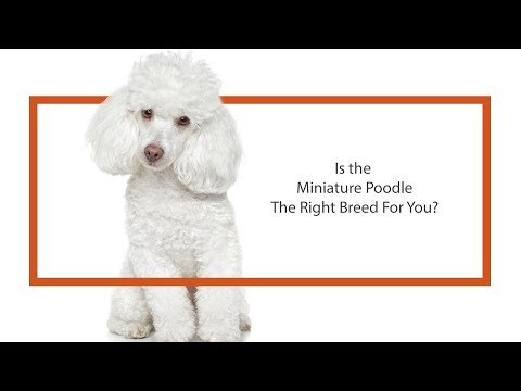 Learn all about the Miniature Poodle and why they could be your perfect pet!