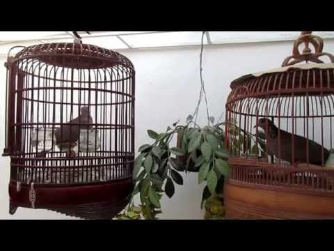 Spotted doves in cage