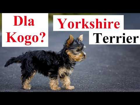 Dla kogo YORK? Dla kogo Yorkshire Terrier?