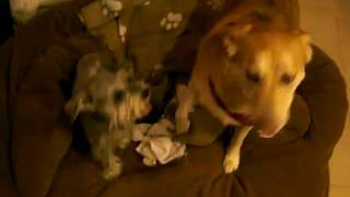 Mini Schnauzer Vs Golden Lab Mix Playing, Funny!