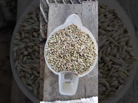 Плющилка для зерна своими руками