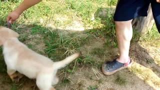 2016/6/10 生まれのラブラドールの子犬です.