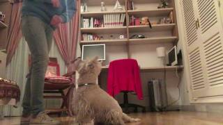 Westie obedience training and tricks - And fun!