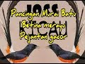 Pancingan Murai Batu Betina Merayu Pejantan Gacor  Mp3 - Mp4 Download