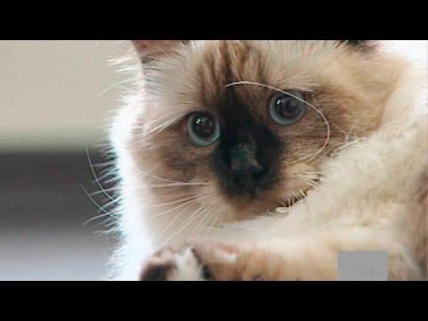 Фото каталог пород фотографии с названиями Породы кошек