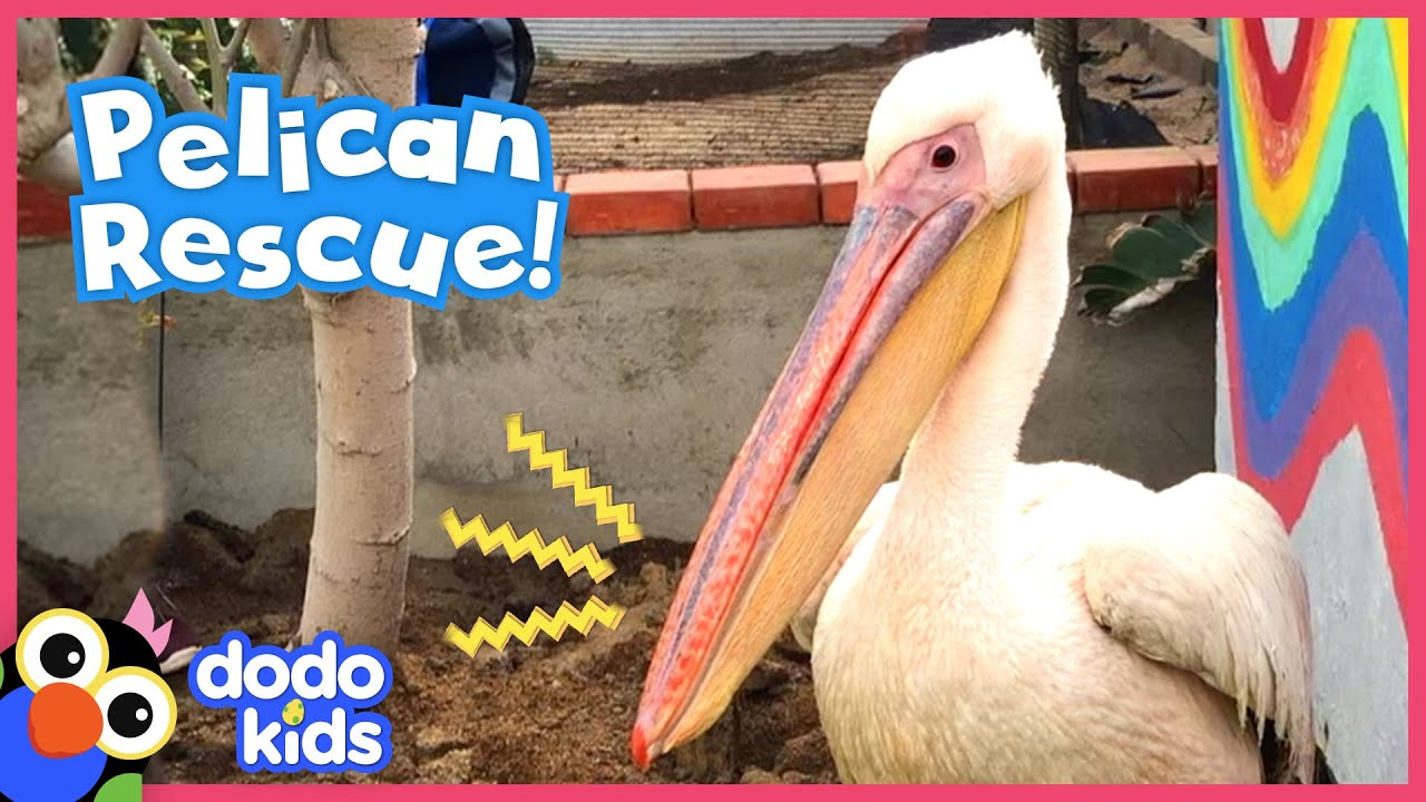 Download Pelican Is The Queen Of This Rescuer's Backyard   Animal Videos For Kids   Dodo Kids