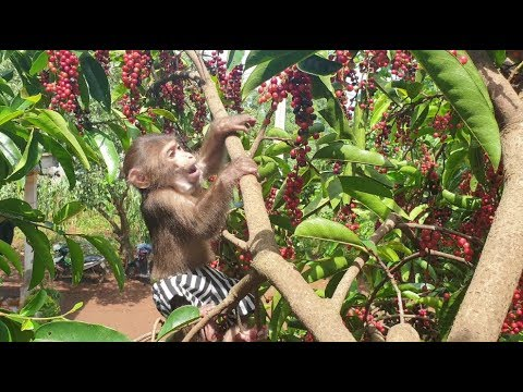 baby-monkey-|-doo-loves-eating-forest-fruits