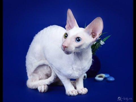 Мальчик породы Корниш Рекс - окрас белый с разноцветными глазами - кличка Домино.