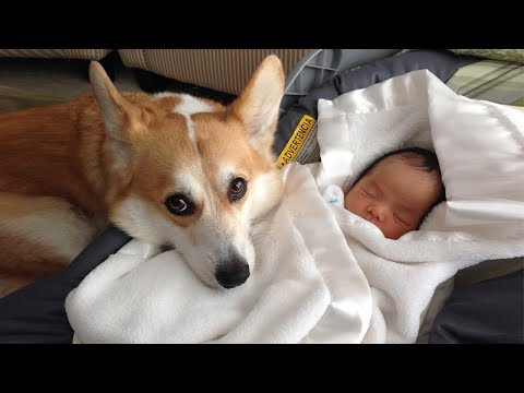 Cutest Moment When Dog is a Babysitter of Baby  Dog loves Baby Video