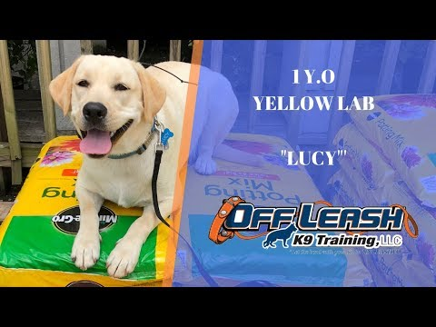 1 Year Old Yellow Lab 'LUCY' Before & After- Dog Training Raleigh Durham