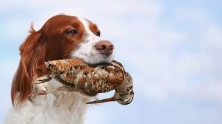 Выставка охотничьих собак в Вологде 2015 г.