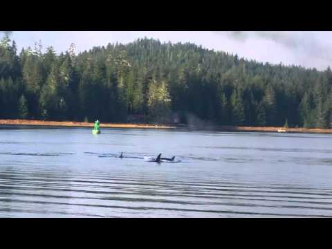 Killer whales hunting in Wrangell narrows