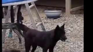山梨県の甲斐犬専門犬舎の様子.