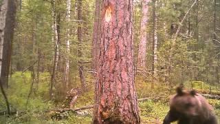 Животные в дикой природе. Медведь