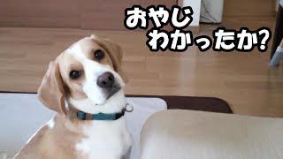 ドギーボックスを手にいれたビーグル犬のうぃるさん