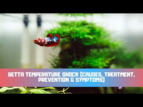 Betta Temperature Shock (Causes, Treatment, Prevention & Symptoms)