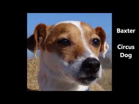 Baxter, the circus dog, jumps through human hoops