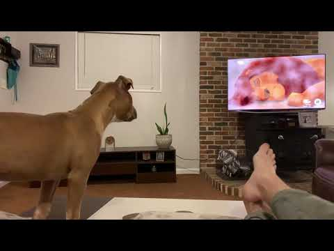 Heather Burnside - Paw Purr Azzi: Pit Bull Puppy Reacts To The Lion King