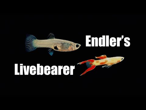 Endler's Livebearer - Endlers (Species Profile & Judging)