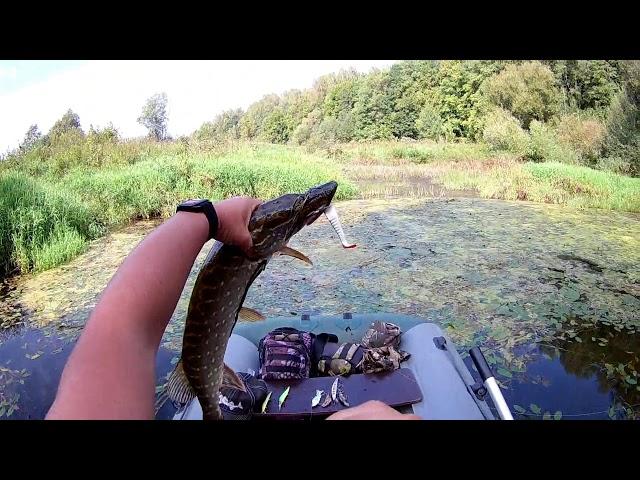 Ловля хищника спиннингом на небольшой реке в сентябре 2018