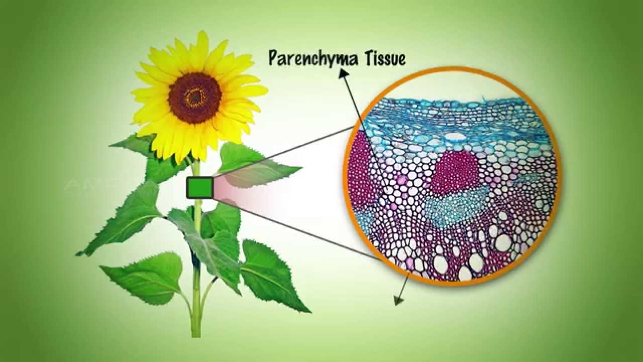 plant tissues Lab: plant tissue systems and cell types in this lab we will become familiar with the main types of plant cells and tissues you'll look at cells in the ground tissue, dermal tissue and vascular tissue.