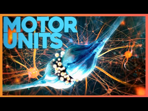 Motor Units: Where Nerve Meets Muscle | Corporis