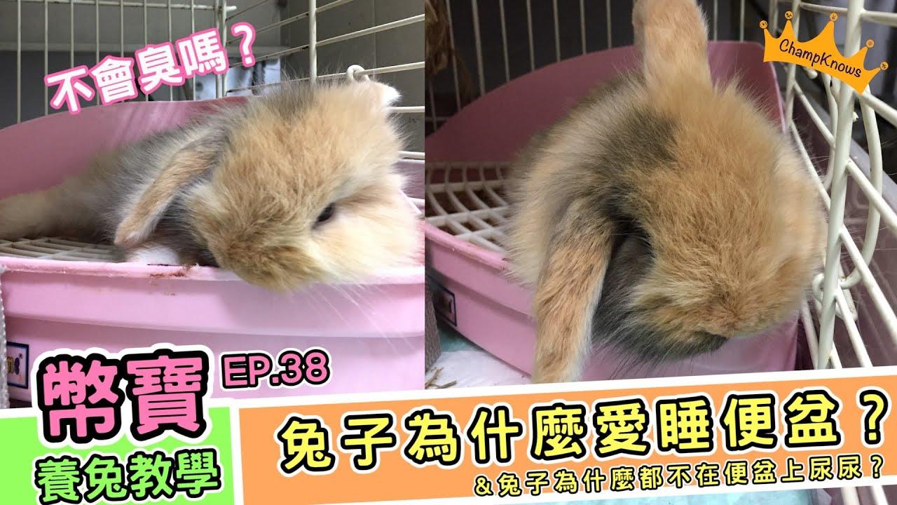 兔子為什麼愛睡在便盆上,但卻又不愛在自己的便盆上廁所呢?|幣寶養兔教學系列 EP.38|ChampKnows【冠軍知道】
