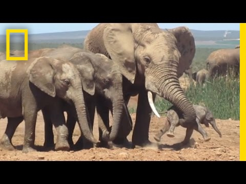 Thumbnail: Shocking Footage of Baby Elephant Tossed Around by Adult, Explained | National Geographic