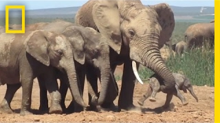 Shocking Footage of Baby Elephant Tossed Around by Adult, Explained | National Geographic