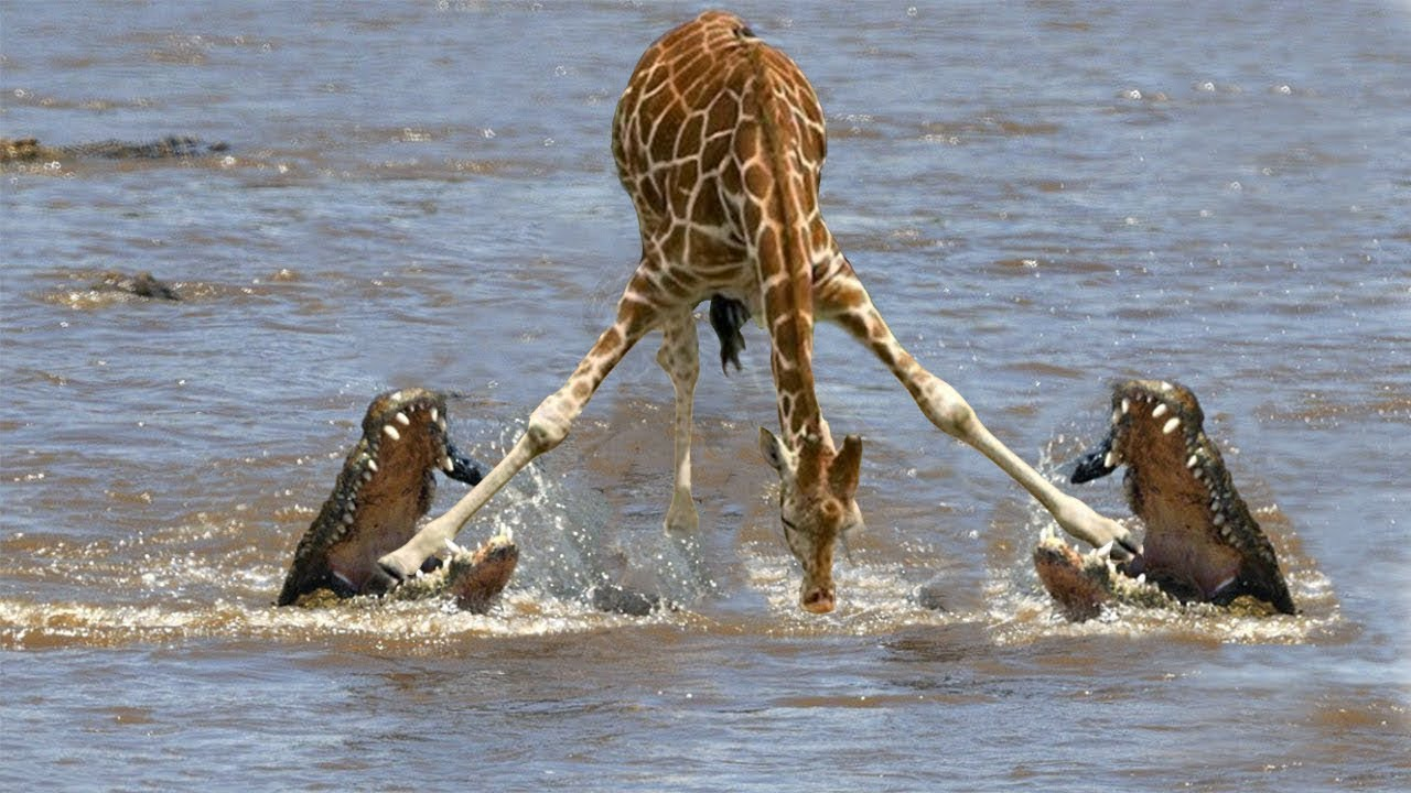 Download INESPERADAS BATALLAS DE ANIMALES | LA LEY DEL MÁS FUERTE | ANIMALES SALVAJES