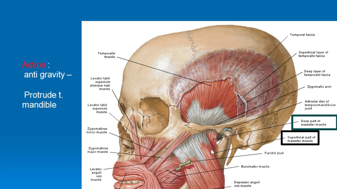 34 Temporalis Masseter Muscles Youtube