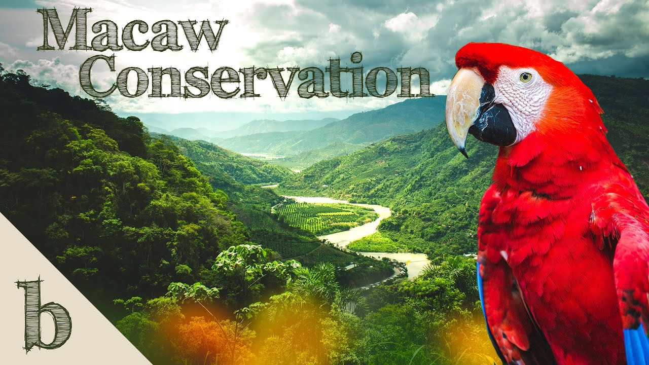 Macaw Conservation   Life in the Jungle