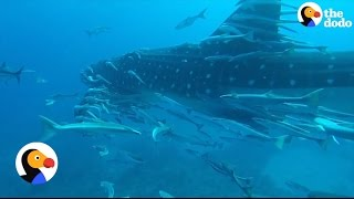 World's Largest Fish Gets Help From Little Friends | The Dodo