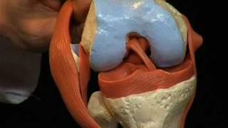 A82/1 - L'articulation du genou