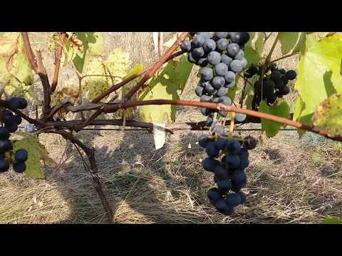 Ранне-средний универсальный сорт винограда Сент Кру ниже -30°С/ Обзор винограда Сент Кру!