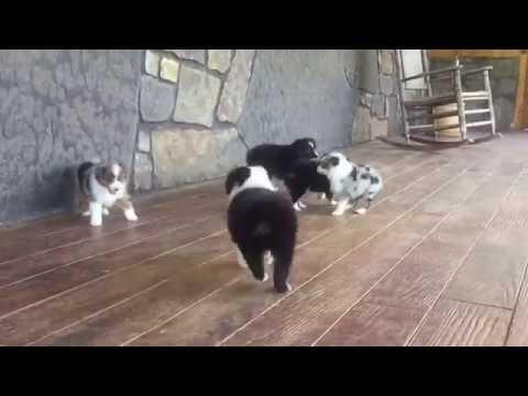 Flirt's Toy Australian Shepherd puppies at Lindsey's Aussies