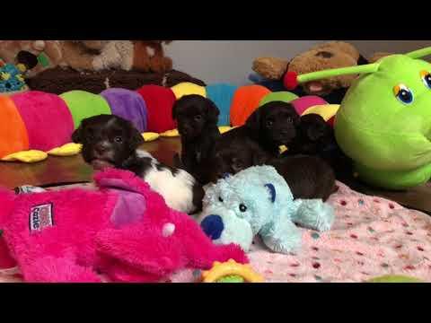 HavaHug Havanese Puppy Playtime!
