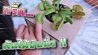แกล้งซิลค์ !! ต้นไม้งับมือ... นิ้วพี่เซนจะเหลือมั๊ย !! Venus Flytrap - DING DONG DAD