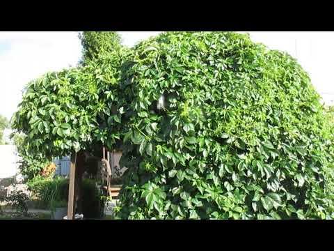 Вопрос: Как сделать живую беседку из растений?