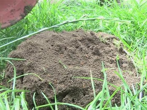 How to get rid of big ant mounds
