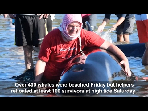 Volunteers try to rescue stranded whales on New Zealand beach